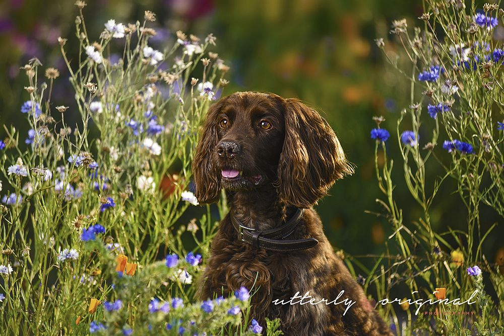 Dog Photography - Toffee (again)